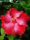 Hibiscus Dragon's Fire