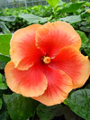 Tahitian Hibiscus Tahitian Burnished Gold
